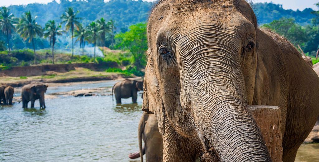 Finden Sie Freunde im Pinnawala Elefantenwaisenhaus