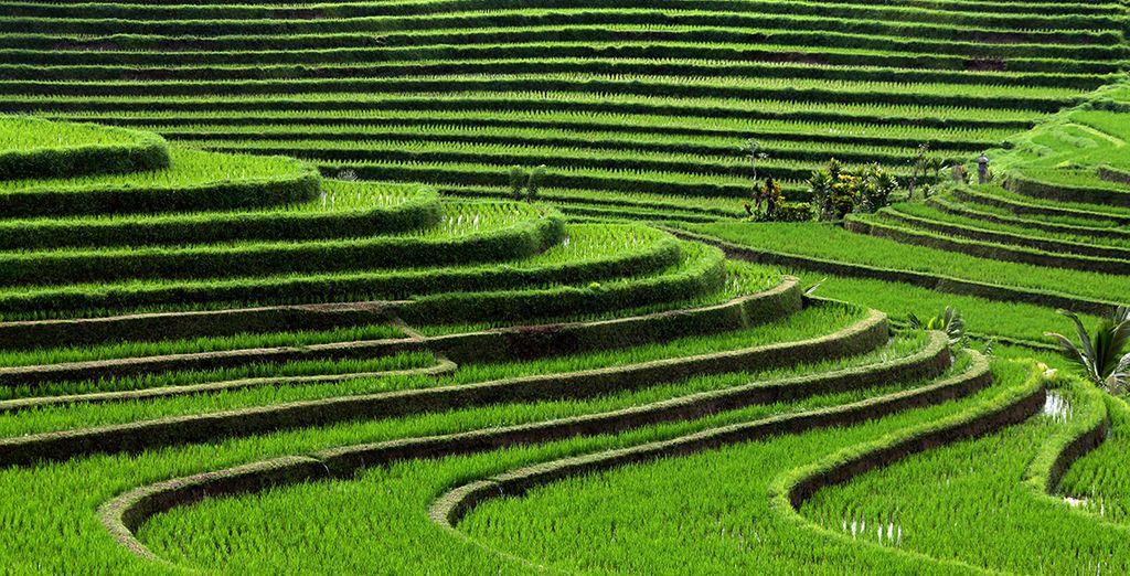 Und seine ikonischen Reisfelder ...