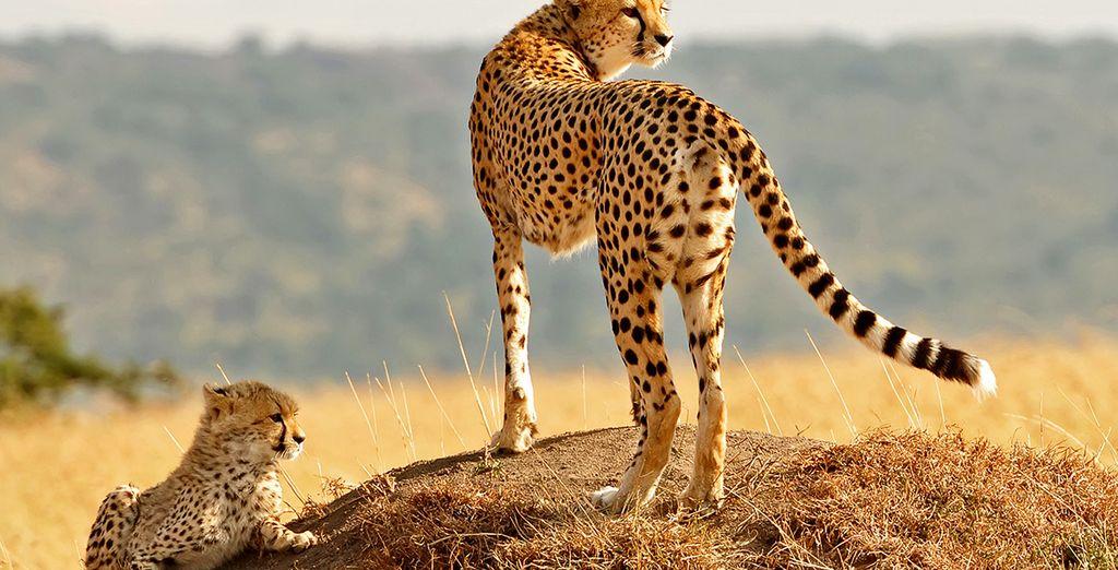 Sehen Sie die Raubkatzen der Savanne ganz nah