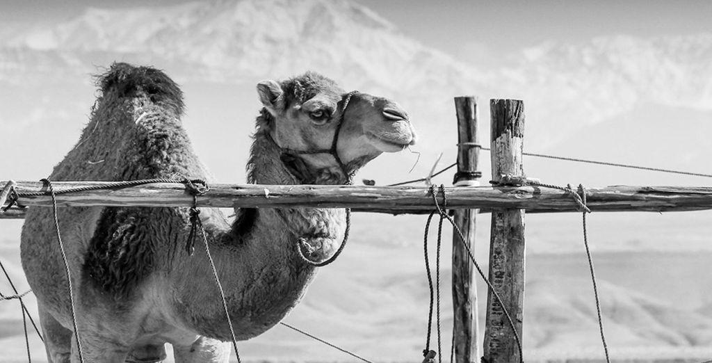 Disfrute de un paseo en Camello