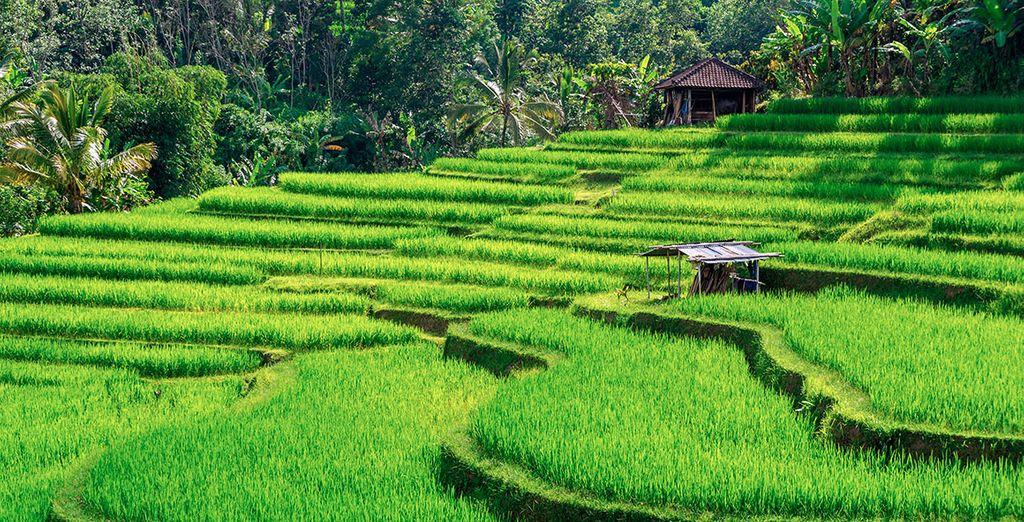 Visitarás también los campos de arroz...