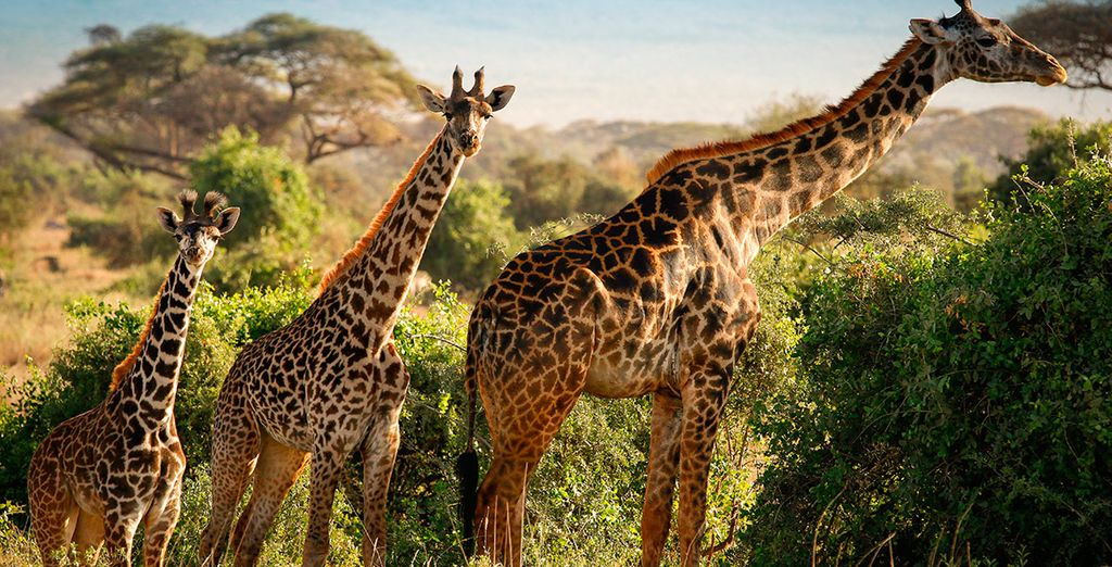 Según el safari que elijas, visitarás Amboseli