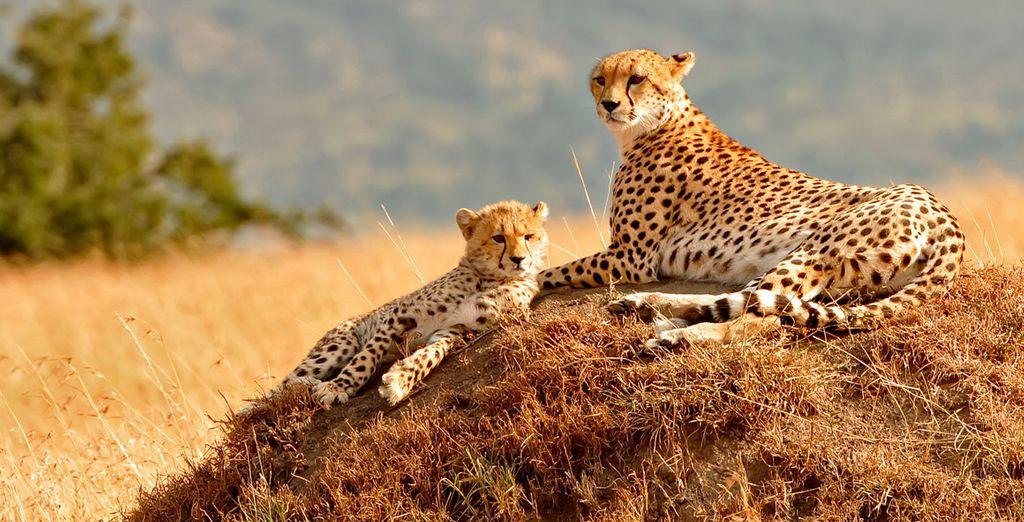 O puedes escoger el safari por Masai Mara