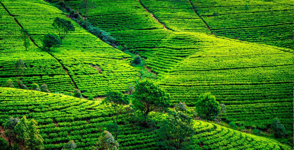Plancación de té en Nuwara Elyia