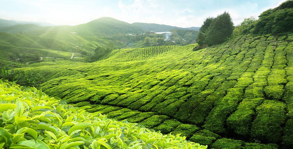 Vous découvrirez la culture du thé...