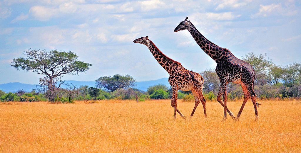Vous débuterez votre séjour dans le vaste parc national de Tarangire
