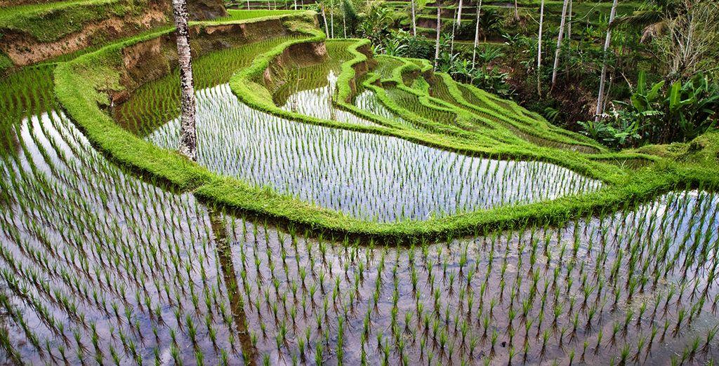 Traversez les paysages de rizières...