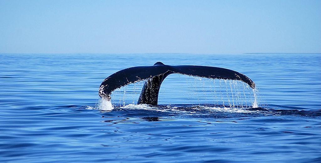 À Malbaie, vous embarquerez à bord d'une croisière d'observation des majestueuses baleines