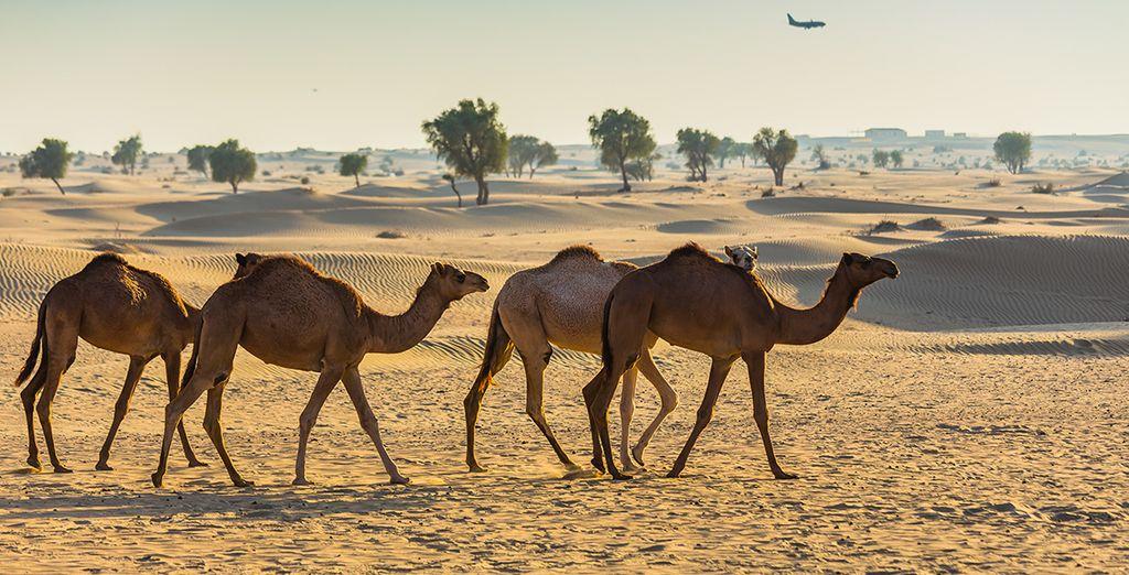 En option et avec supplément, offrez-vous un safari dans le désert
