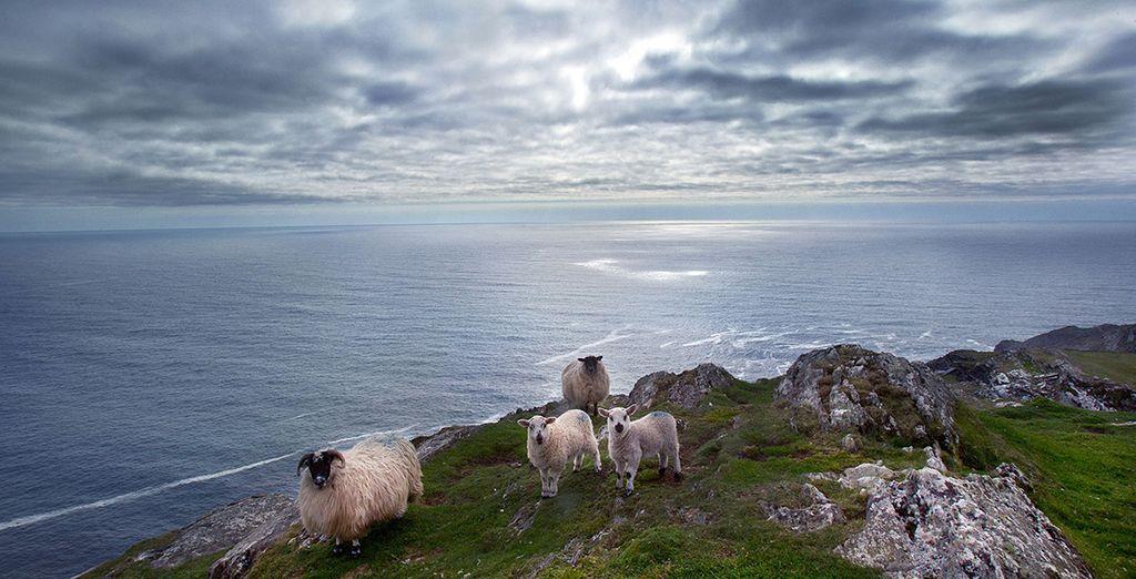Paysages d'Irlande et moutons