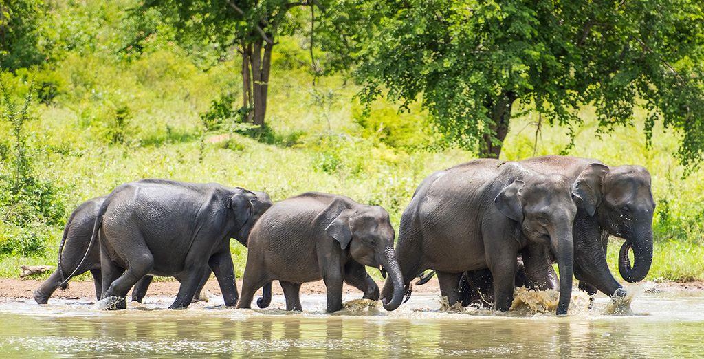 Approchez-vous au plus près des éléphants du Sri Lanka