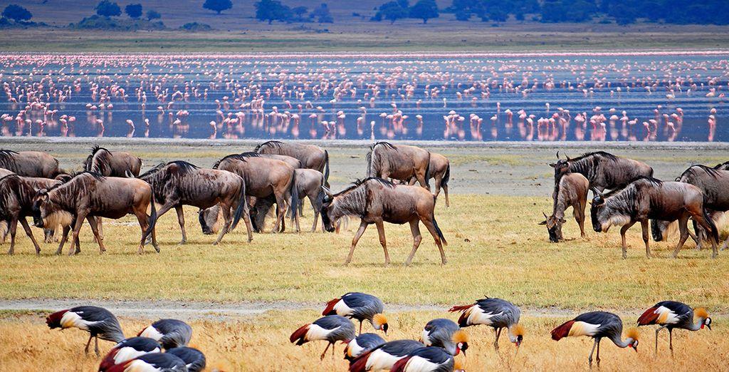 Puis émerveillez-vous devant les milles facettes du lac Manyara et l'étonnante population de flamands roses