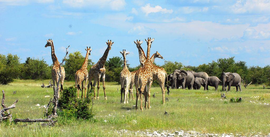 Photographie du Parc National d'Etosha habitée par les girafes et les éléphants