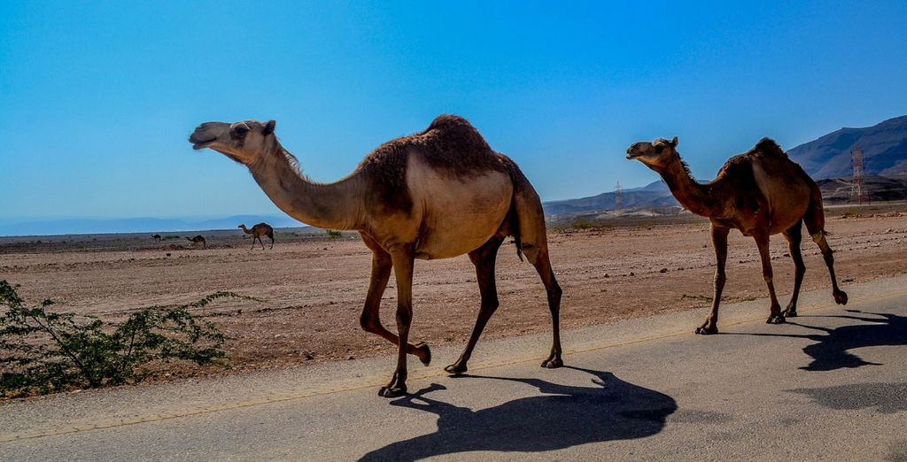 e la fauna caratteristica dell'Oman