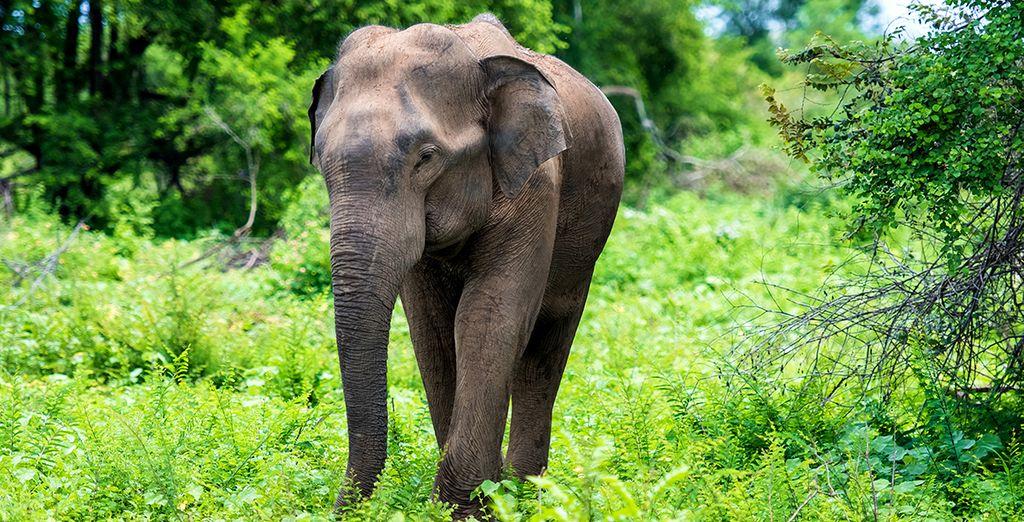 En majestueuze olifanten
