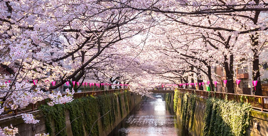 Travel Guide to Japan: Cherry Blossom Festival