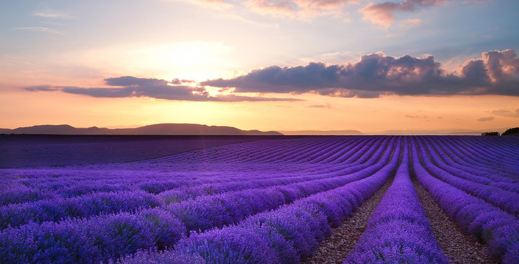 And wonder through the heady lavender fields