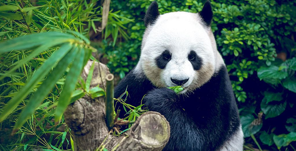A trip to see China's playful pandas are just a click away - In Pursuit of Pandas 4* China Tour