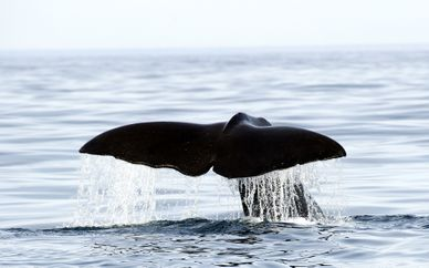Whales & Orcas Encounters in Norway